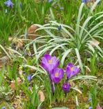 Diversos açafrões violetas Fotos de Stock Royalty Free