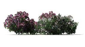 Diversos diversos arbustos da azálea com as flores cor-de-rosa e brancas ilustração do vetor