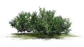 Diversos arbustos da azálea - verde ilustração royalty free