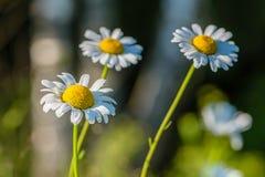Diversos botões de florescência das margaridas são iluminados pelo sol de ajuste em Fotos de Stock