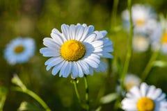 Diversos botões de florescência das margaridas são iluminados pelo sol de ajuste em Foto de Stock Royalty Free