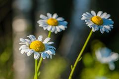 Diversos botões de florescência das margaridas são iluminados pelo sol de ajuste em Foto de Stock