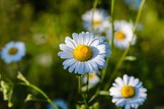 Diversos botões de florescência das margaridas são iluminados pelo sol de ajuste em Imagens de Stock Royalty Free