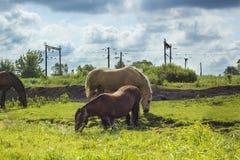Diversos caballos que pastan en prado verde Fotografía de archivo