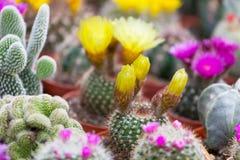 Diversos cactus Imagen de archivo libre de regalías