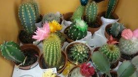 Diversos cactus florecientes en potes Foto de archivo libre de regalías