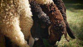 Diversos carneiros estão esforçando-se para o alimento filme