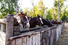 Diversos cavalos marrons e brancos que comem o milho na floresta Foto de Stock Royalty Free