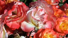 Diversos colores y hojas de las rosas que se mueven en brisa apacible almacen de metraje de vídeo