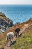 Diversos cordeiros em um campo e em um oceano verdes na parte traseira Fotos de Stock