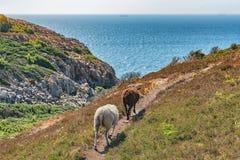 Diversos cordeiros em um campo e em um oceano verdes na parte traseira Imagem de Stock Royalty Free