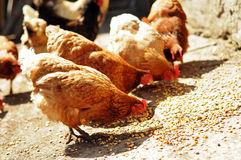 Diversos cultivam as galinhas que comem o milho no campo imagem de stock royalty free