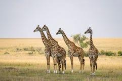 Diversos girafas que olham fixamente no perigo no savana de Maasai março foto de stock