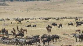 Diversos herbívoros en el río de Mara en reserva del juego de Mara del masai almacen de metraje de vídeo