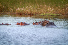 Diversos hipopótamos que apreciam a água Foto de Stock Royalty Free