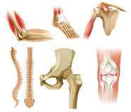 Diversos huesos humanos Imagen de archivo