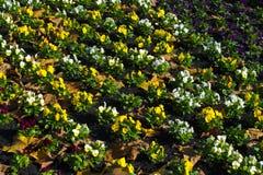 Diversos pansies bonitos na linha no outono Fotografia de Stock Royalty Free