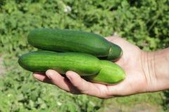 Diversos pepinos em uma mão do fazendeiro Foto de Stock Royalty Free