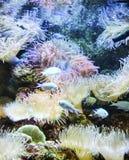 Diversos pescados coloridos en la natación exótica de la naturaleza en agua profunda con el fondo azul con tentáculo como coral imagenes de archivo