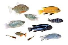 Diversos pescados del acuario aislados en blanco Foto de archivo