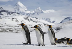 Diversos pinguins de rei na neve fresca em Georgia Island sul fotografia de stock royalty free