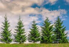 Diversos pinheiros no prado Imagens de Stock