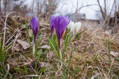 Diversos saltam flores Açafrão Vernus Foto de Stock Royalty Free
