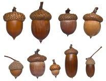 Diversos tipo y tallas de la bellota Imagen de archivo libre de regalías