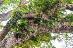 Diversos tipos de plantas parásitas que viven en el árbol Imagen de archivo libre de regalías