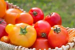 Diversos tomates orgánicos escogidos frescos en un cose de la cesta Foto de archivo