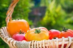 Diversos tomates orgánicos escogidos frescos en una cesta Imágenes de archivo libres de regalías