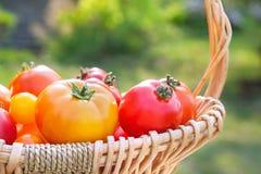 Diversos tomates orgánicos escogidos frescos en una cesta Foto de archivo