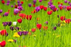 Diversos tulipanes coloreados en un prado Foto de archivo