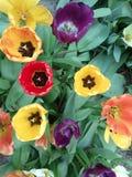 Diversos tulipanes del color Imágenes de archivo libres de regalías