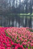 Diversos tulipanes hermosos de los colores de la plena floración en el día soleado en Países Bajos fotografía de archivo libre de regalías