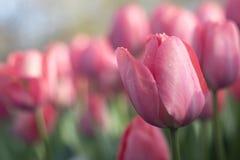 Diversos tulipanes hermosos de los colores de la plena floración en el día soleado en Países Bajos foto de archivo libre de regalías
