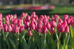 Diversos tulipanes hermosos de los colores de la plena floración en el día soleado en Países Bajos imagen de archivo