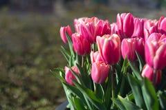 Diversos tulipanes hermosos de los colores de la plena floración en el día soleado en Países Bajos foto de archivo