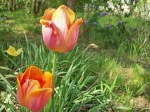 Diversos tulipanes, lilas e hierba imagen de archivo