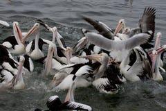 Divertimento com pelicanos ao alimentar - imagem conservada em estoque Imagem de Stock Royalty Free
