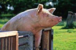 Divertimento del maiale Fotografia Stock Libera da Diritti