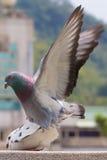 Divertimento del piccione fotografie stock libere da diritti