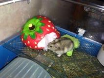 Divertimento 1 do hamster Foto de Stock Royalty Free