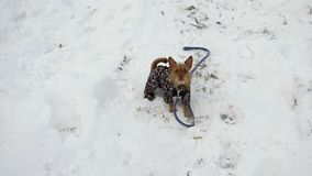 Divertimento do inverno Cão de Tererskaya que veste um kombenzon do leopardo e que descasca na câmera, colocada em uma inclinação video estoque
