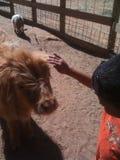 Divertimento do jardim zoológico de trocas de carícias Fotos de Stock