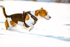 Divertimento do lebreiro da corrida do cão na neve Imagem de Stock