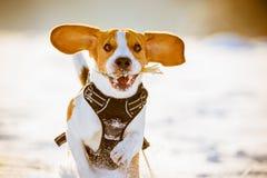 Divertimento do lebreiro da corrida do cão na neve Imagens de Stock