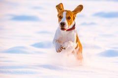 Divertimento do lebreiro da corrida do cão na neve Fotos de Stock Royalty Free