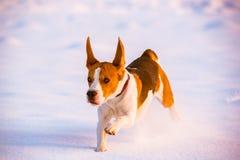 Divertimento do lebreiro da corrida do cão na neve Foto de Stock