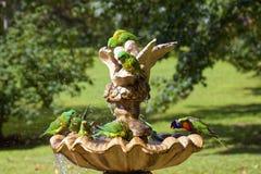 Divertimento escamoso-breasted do respingo dos pássaros de Lorikeet Imagens de Stock